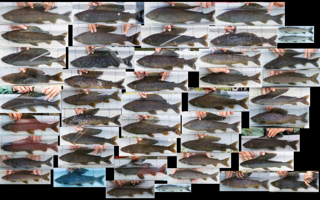 Weighted2015Fish_Grayling_LeftView_2880